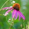 BFP 005<br /> <br /> Purple coneflower at Blackwell Forest Preserve, DuPage County, Illinois.