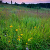 BFP 016<br /> <br /> Native wildflowers at sunset.  Blackwell Forest Preserve, DuPage County, Illinois.
