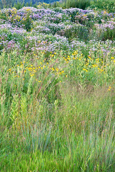 BFP 015<br /> <br /> Native summer wildflowers on the site of a former landfill.  Blackwell Forest Preserve, DuPage County, Illinois.