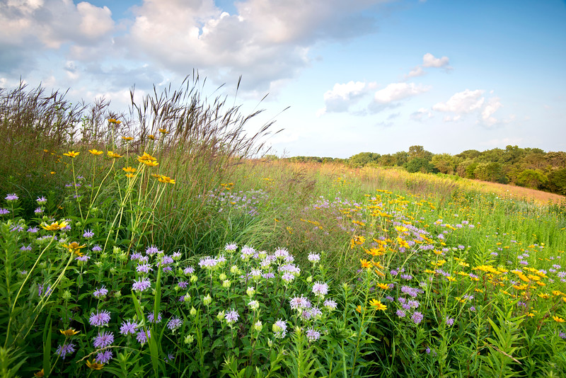 BFP 008<br /> <br /> A former landfill now converted into a beautiful restored prairie at Blackwell Forest Preserve, DuPage County, Illinois.