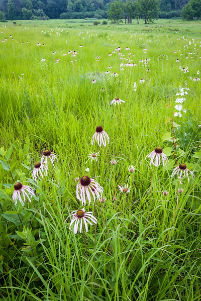 CP 013<br /> <br /> Purple coneflower at Churchill Prairie Nature Preserve, DuPage County, Illinois.