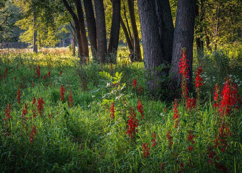 CP 029<br /> <br /> Cardinal flowers add a splash of crimson to a woodland edge at Churchill Prairie Nature Preserve, DuPage County, Illinois.
