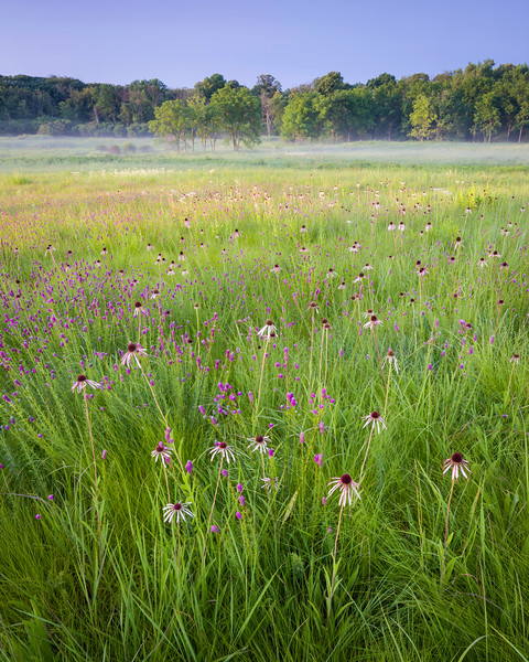 CP 001<br /> <br /> Purple coneflower and prairie clover at sunrise.  Churchill Prairie Nature Preserve, DuPage County, Illinois.
