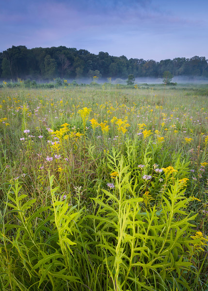 CP 032<br /> <br /> Compass plant and goldenrod at sunrise.  Churchill Prairie Nature Preserve, DuPage County, Illinois.