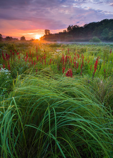 CP 030<br /> <br /> Sunrise over a prolific bloom of cardinal flowers at Churchill Prairie Nature Preserve, DuPage County, Illinois.