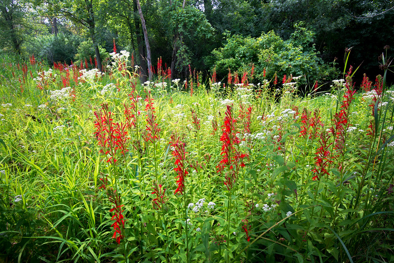 CP 024<br /> <br /> Cardinal flowers on a woodland edge at Churchill Prairie Nature Preserve, DuPage County, Illinois.