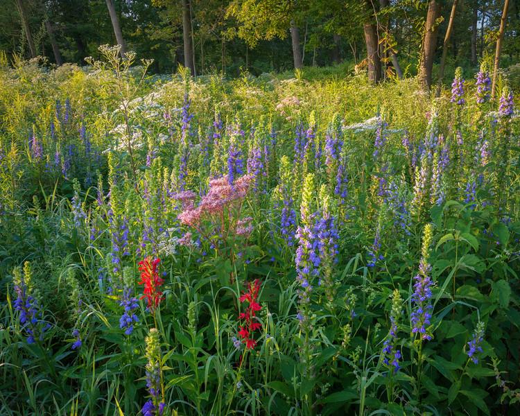 Cardinal flowers and great blue lobelia.  Churchill Prairie Nature Preserve, DuPage County, Illinois.