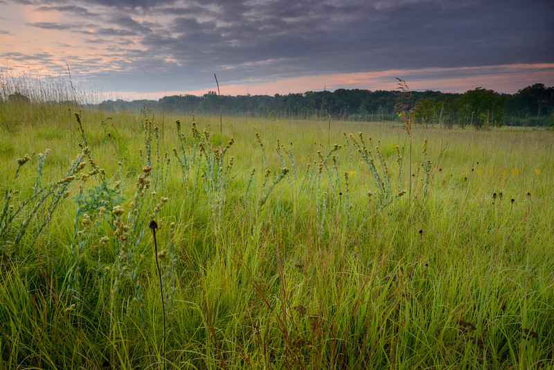CP 007<br /> <br /> Round-headed bush clover at sunrise.  Churchill Prairie Nature Preserve, DuPage County, Illinois.