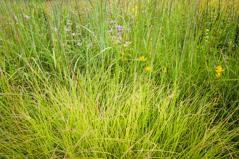 CP 019<br /> <br /> Prairie grasses and native wildflowers.  Churchill Prairie Nature Preserve, DuPage County, Illinois.