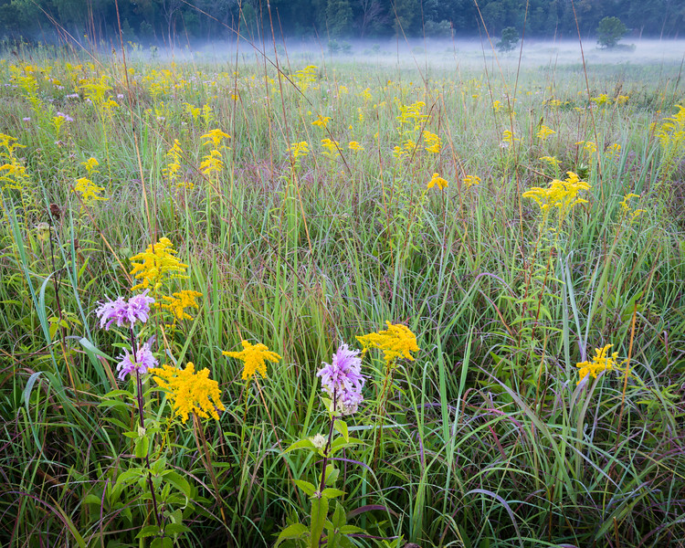 CP 033<br /> <br /> Goldenrod and bergamot at sunrise.  Churchill Prairie Nature Preserve, DuPage County, Illinois.