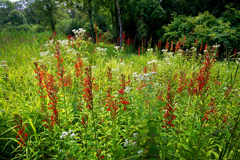 CP 025<br /> <br /> Cardinal flowers on a woodland edge at Churchill Prairie Nature Preserve, DuPage County, Illinois.