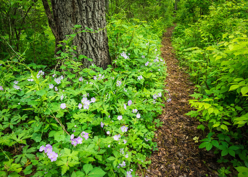 DFP 014<br /> <br /> The purple blooms of the native wildflower wild geranium line a path through the spring woods at Danada Forest Preserve, DuPage County, Illinois.