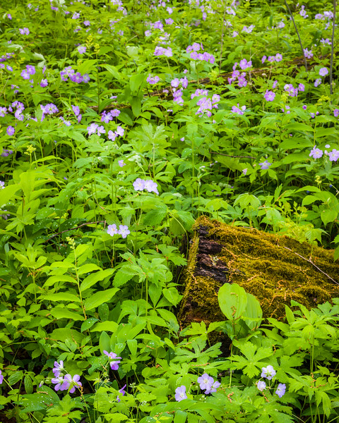DFP 010<br /> <br /> Wild geranium, a wildflower native to Midwest forest environments, adds a splash of color to the spring woods at Danada Forest Preserve, DuPage County, Illinois.