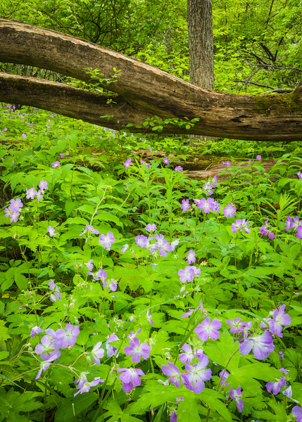 DFP 012<br /> <br /> Wild geranium, a wildflower native to Midwest forest environments, adds a splash of color to the spring woods at Danada Forest Preserve, DuPage County, Illinois.