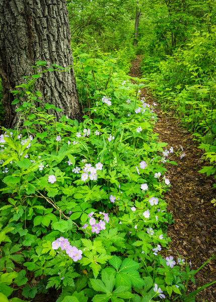 DFP 013<br /> <br /> The purple blooms of the native wildflower wild geranium line a path through the spring woods at Danada Forest Preserve, DuPage County, Illinois.