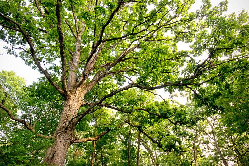 DFP 002<br /> <br /> Majestic oak trees in Parsons Grove.  Danada Forest Preserve, DuPage County, Illinois.