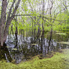 FW 001<br /> <br /> Spring in a swamp habitat at Fischer Woods Forest Preserve, DuPage County, Illinois.