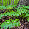 FBW 003<br /> <br /> Mayapples in the spring woods at Fullersburg Woods Forest Preserve, DuPage County, Illinois.