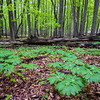 FBW 002<br /> <br /> Mayapples in the spring woods at Fullersburg Woods Forest Preserve, DuPage County, Illinois.
