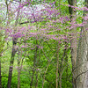 FBW 009<br /> <br /> Easter redbud trees blooming in the spring woods.  Fullersburg Woods Forest Preserve, DuPage County, Illinois.