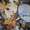 FBW 019<br /> <br /> Autumn leaves on the forest floor.  Fullersburg Woods Forest Preserve, DuPage County, Illinois.