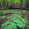 FBW 004<br /> <br /> Mayapples in the spring woods at Fullersburg Woods Forest Preserve, DuPage County, Illinois.