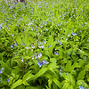 FBW 007<br /> <br /> Virginia bluebells blooming in the spring woods at Fullersburg Woods Forest Preserve, DuPage County, Illinois.