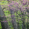 FBW 010<br /> <br /> Eastern redbud trees blooming in the spring woods at Fullersburg Woods Forest Preserve, DuPage County, Illinois.
