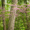 FBW 008<br /> <br /> Easter redbud trees blooming in the spring woods.  Fullersburg Woods Forest Preserve, DuPage County, Illinois.