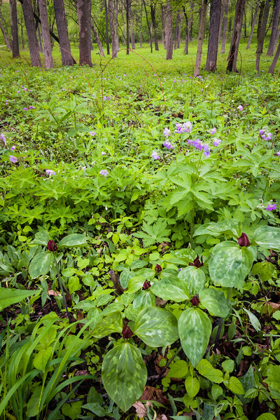 FBW 006<br /> <br /> Red trillium and wild geranium bloom in spring at Fullersburg Woods Forest Preserve, DuPage County, Illinois.