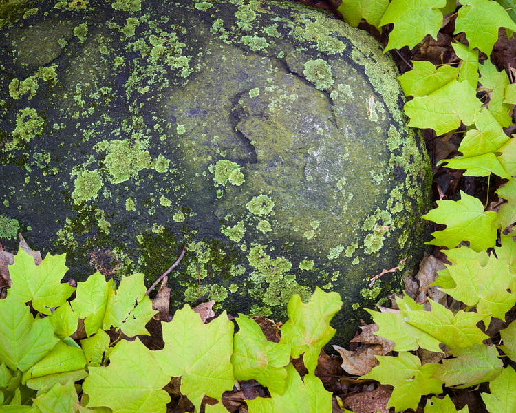 FBW 005<br /> <br /> Maple saplings surround a lichen covered boulder.  Fullersburg Woods Forest Preserve, DuPage County, Illinois.