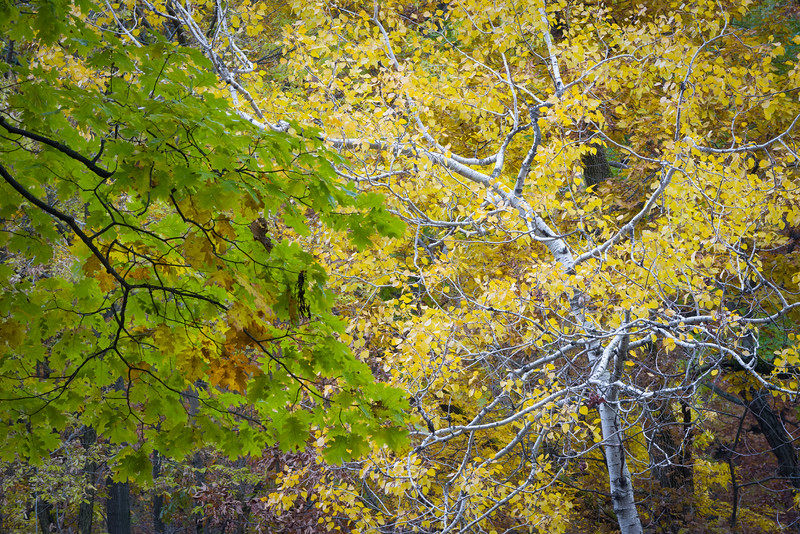 GV 026<br /> <br /> Oak leaves mingle with birch leaves in the autumn canopy at Greene Valley Forest Preserve.  DuPage County, Illinois.