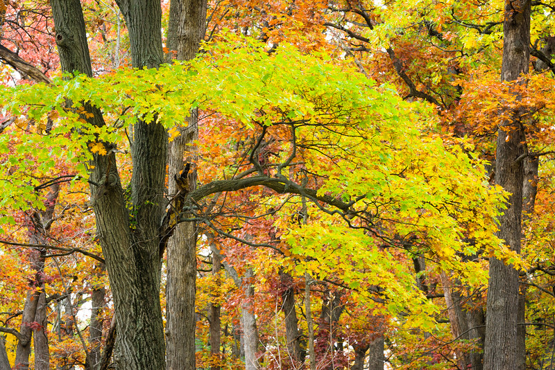 GV 024<br /> <br /> Autumn oak trees at Greene Valley Forest Preserve, DuPage County, Illinois.