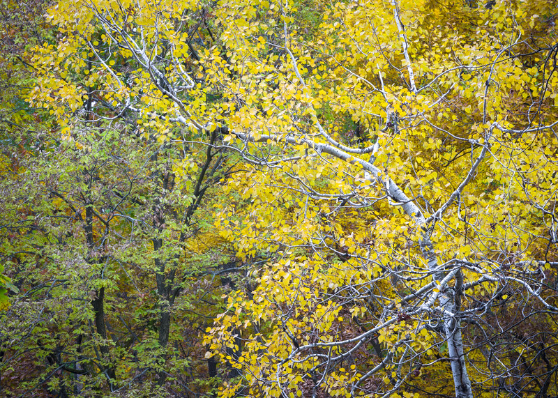 GV 026<br /> <br /> An arching birch tree adds its striking color to the autumn woods at Greene Valley Forest Preserve.  DuPage County, Illinois.