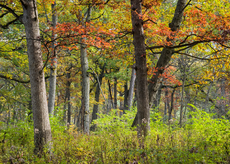 GV 020<br /> <br /> The colors of autumn come to Greene Valley Forest Preserve, DuPage County, Illinois.