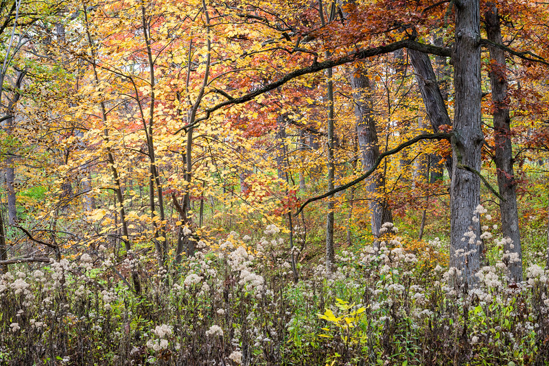 GV 025<br /> <br /> Autumn comes to an oak savanna at Greene Valley Forest Preserve, DuPage County, Illinois.