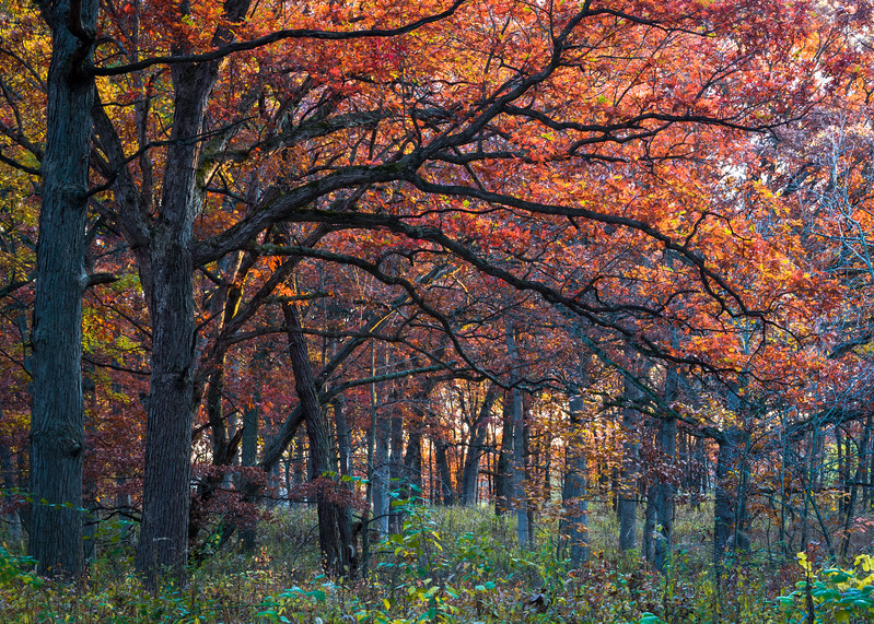 GV 021<br /> <br /> Autumn oaks glow in the light of a setting sun.  Greene Valley Forest Preserve, DuPage County, Illinois.
