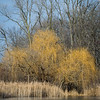 HL 009<br /> <br /> Willow trees in winter light on the shore of a small lake at Herrick Lake Forest Preserve in DuPage County, Illinois.