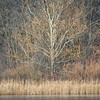 HL 007<br /> <br /> A small birch tree in winter light on the shore of a small lake at Herrick Lake Forest Preserve in DuPage County, Illinois.
