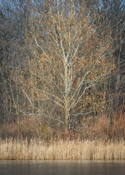 HL 006<br /> <br /> A small birch tree in winter light on the shore of a small lake at Herrick Lake Forest Preserve in DuPage County, Illinois.