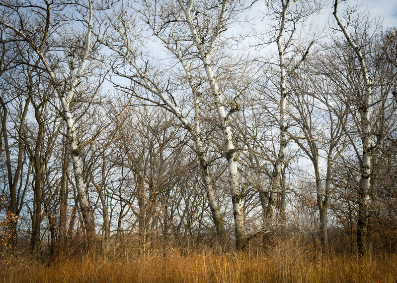 HL 011<br /> <br /> Winter light on a stand of birch trees at Herrick Lake Forest Preserve in DuPage County, Illinois.