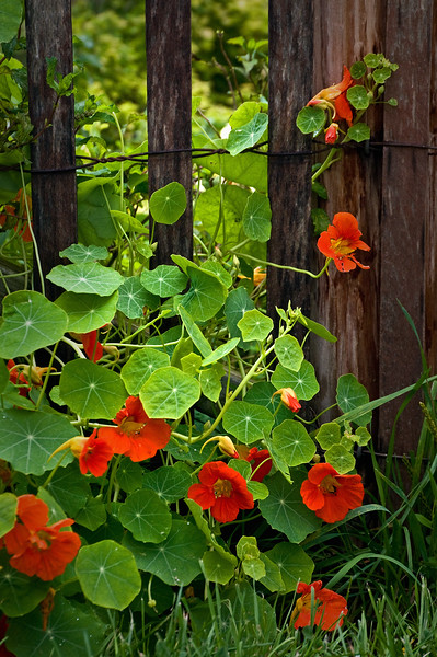 KC 003<br /> <br /> Nasturtiums twining their way up the garden gate at Kline Creek Farm Forest Preserve, DuPage County, Illinois.