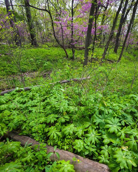 LW 001<br /> <br /> Mayapples and eastern redbud trees in the spring woods at Lyman Woods Forest Preserve, DuPage County, Illinois.