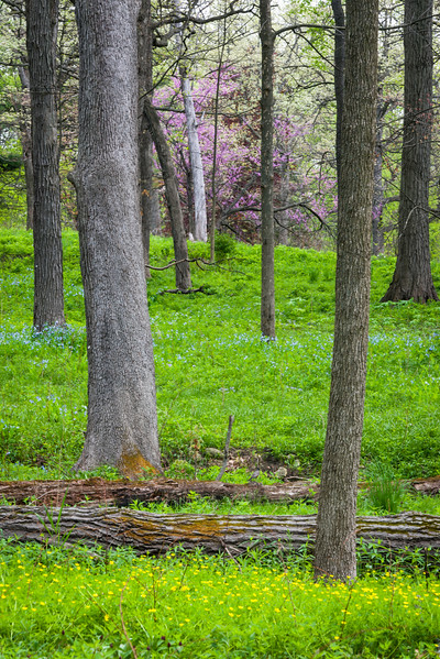 LW 003<br /> <br /> Virginia bluebells and eastern redbud trees bloom in the spring woods at Lyman Woods Forest Preserve, DuPage County, Illinois.