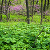 LW 004<br /> <br /> Mayapples and eastern redbud trees blooming in the spring woods at Lyman Woods Forest Preserve, DuPage County, Illinois.