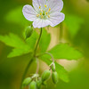 MplGrv 011<br /> <br /> Wild Geranium portrait.  Maple Grove Forest Preserve, DuPage County, Illinois.