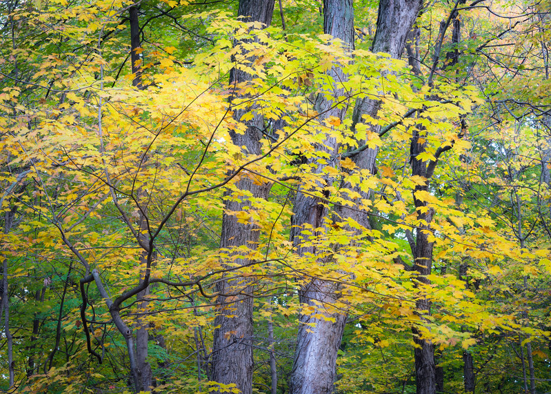 MplGrv 001<br /> <br /> A maple sapling flashing its autumn colors at Maple Grove Forest Preserve, DuPage County, Illinois.