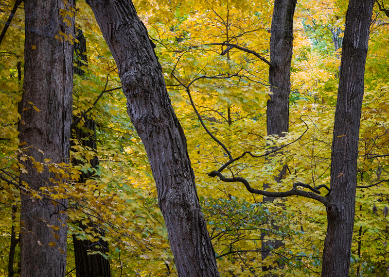MplGrv 005<br /> <br /> Autumn colors in the maple canopy at Maple Grove Forest Preserve, DuPage County, Illinois.