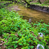 MplGrv 010<br /> <br /> Spring wildflowers on St. Joseph's Creek.  Maple Grove Forest Preserve, DuPage County, Illinois.