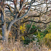 ML 004<br /> <br /> Autumn in the oak savanna.  Mayslake Forest Preserve, DuPage County, Illinois.